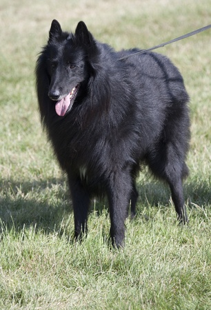 Groenendael is kept on a lead on the grass. photo