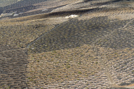 Plants are growing in volcanic lapilli in the La Geria region of Lanzarote, Spain  The low, curved walls, named Zocos, are traditionally used to protect the plants from the constant wind  Stock Photo - 12850322