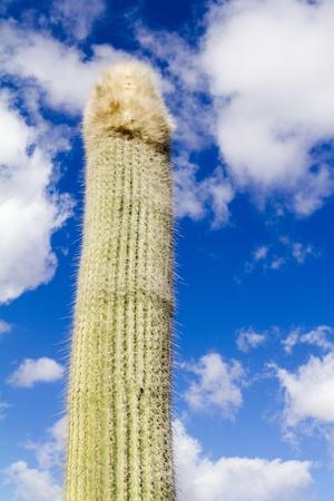 phallus: Single long cactus, phallus shaped - Lanzarote, Canary Islands, Spain
