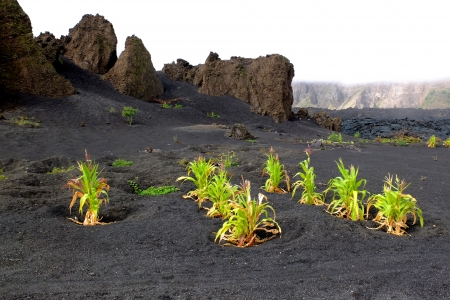 Maize has grown on the black sand of the volcanic island of Fogo, Cape Verde  Stock Photo