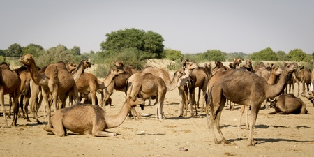 dromedaries: Herd of dromedaries in the desert  Stock Photo