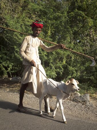 GHANERAO,  INDIA - MARCH 11: a shepherd , wearing a red turban, is leading a calf along the road during the summer transhumance, on March 11, 2013, in Ghanerao, India.