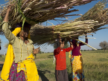 JAIPUR,  INDIA - MARCH 4: Women are carrying  reeds on the head, on March 4, 2013, Jaipur, India.
