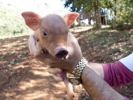 frienship: Portrait of a piglet in the hands of a man.