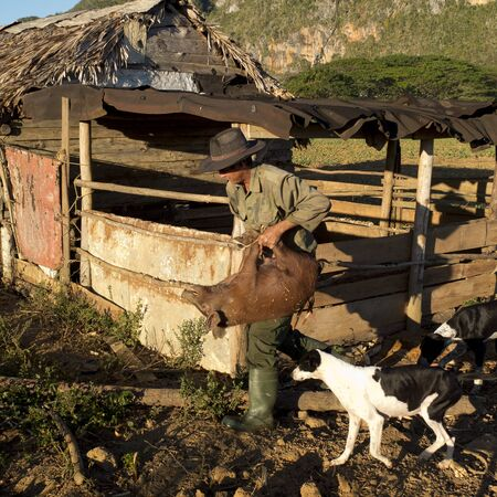 pig out: VINALES, CUBA - DECEMBER 13: a farmer is carrying a pig by the legs out of a barn, we december 13, 2014, in Vinales, Cuba
