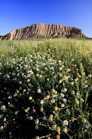 desolate: In the foreground a field of daisies. In the background a desolate hill.