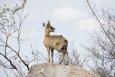 Klipspringer on a rock Stock Photo