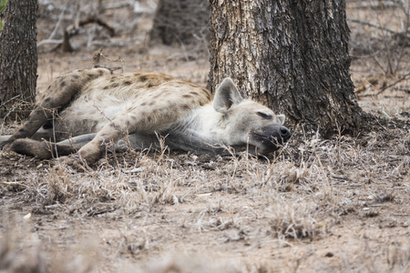 Hyena sleeping close to a tree