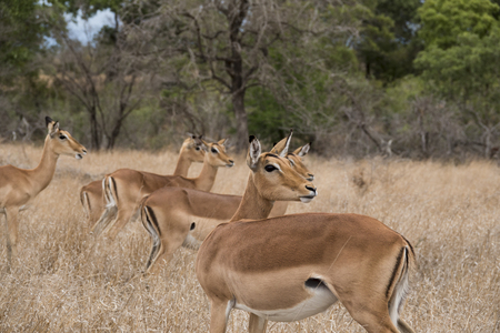 Female impalas sensing the danger
