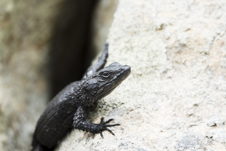 Portrait of a black lizard.