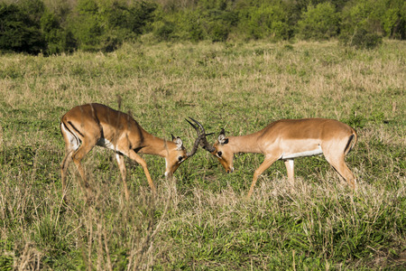 Young impalas fighting in the savannah
