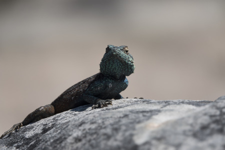 Green lizard watching on a Rock Table Mountain.