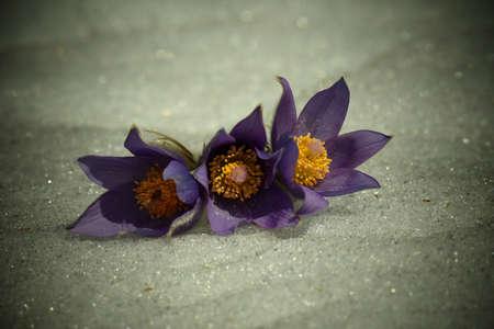 open lumbago blooms in the snow