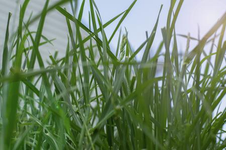 Long, tall grass in yard