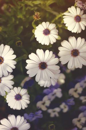 Dimorphotheca ecklonis, Osteospermum ecklonis, or African daisies and Bi-color Pansies Standard-Bild - 101670722