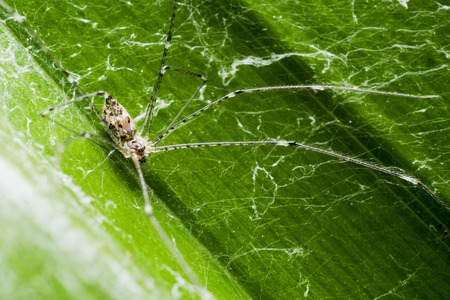 the lynx: Macro Lynx Spider on leaf at Night in countryside of thailand
