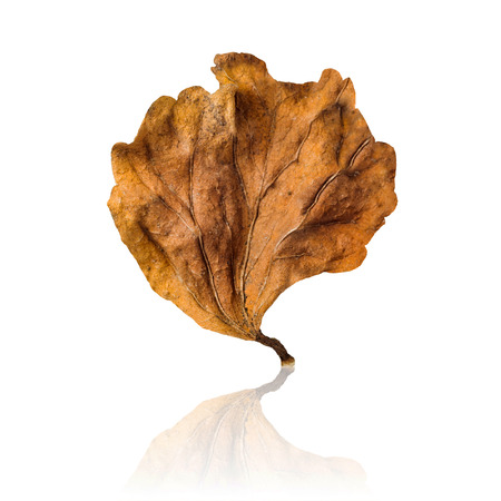 dry leaf: A dry leaf isolated on white background