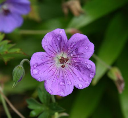 hardy: Purple hardy geranium after a morning rain