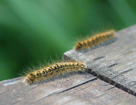 bask: Yellow and black caterpillars bask in the sun Stock Photo