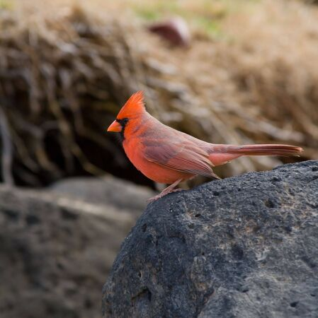 Beautiful Northern Cardinal sits on a lava rock at the beach. photo