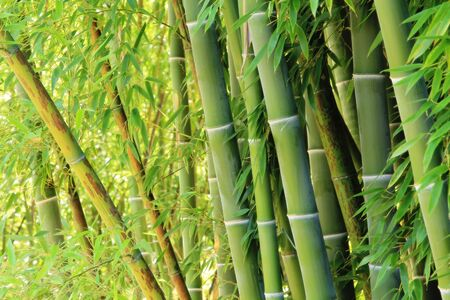 Grove of lush green bamboo.