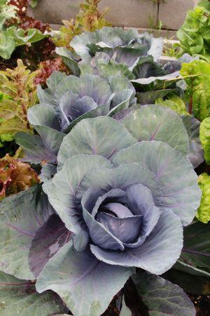 Healthy cabbage grows in a community garden