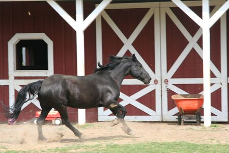 black horse canter