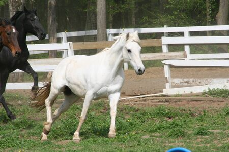 white horse canter photo