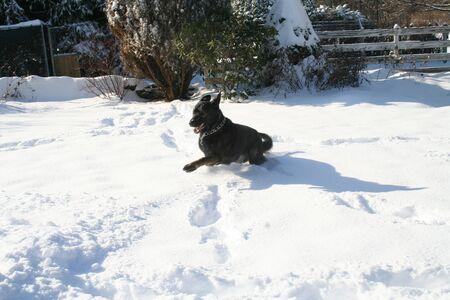 german shepherd snow