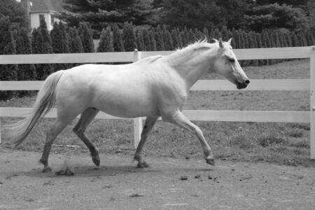 drafje: wit paard draf Stockfoto