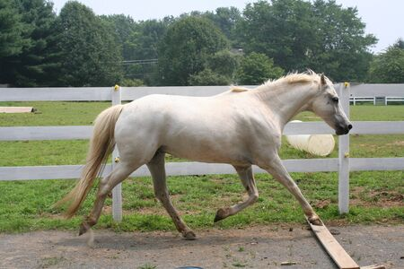white horse extended trot photo