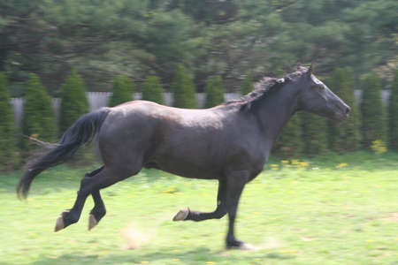 warmblood canter photo
