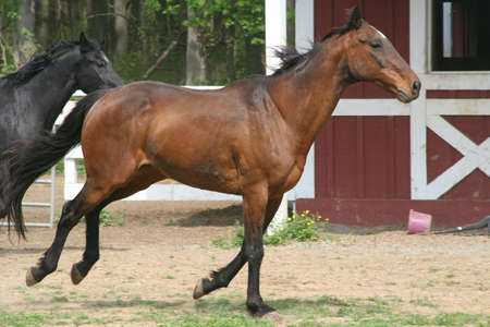 thoroughbred canter photo