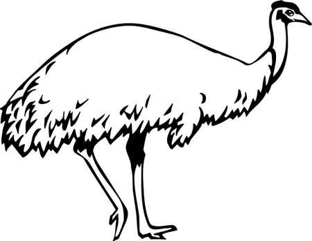 emu bird: Emu Illustration