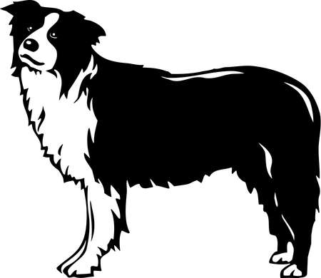border collie: Border Collie Illustration