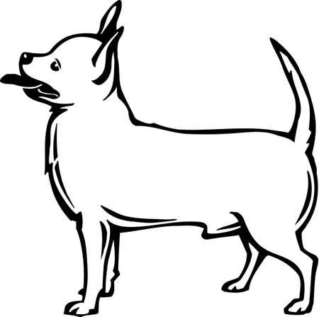chihuahua dog: Chihuahua