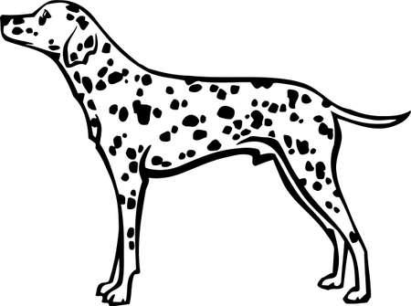 dalmatian: Dalmatian Illustration