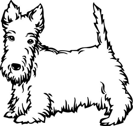 terriers: Scottish Terrier