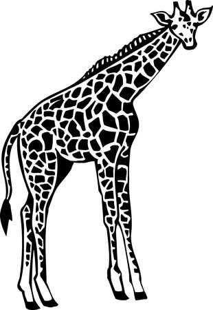 Girafe Banque d'images - 13065737