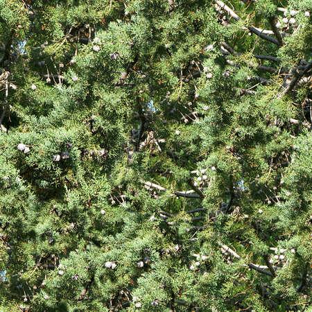 cedar: Cedar Trees Seamless Texture Tile Stock Photo