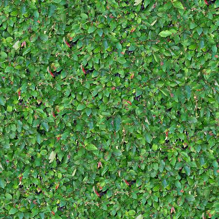 Hedge Naadloze Textuur Tegel