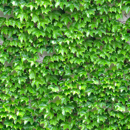 ivy wall: Ivy Seamless Texture Tile