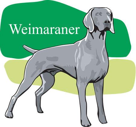 Weimaraner illustratie