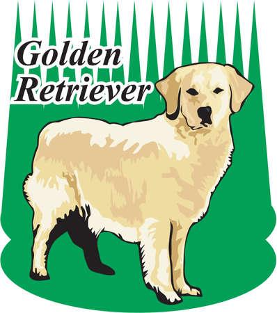 Golden Retriever Illustration Illustration