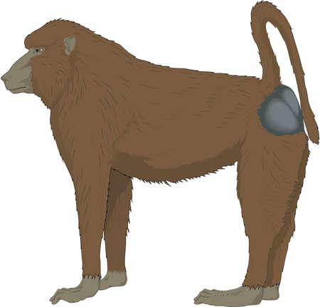 Baboon Illustration Illustration
