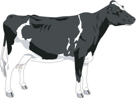 Cow Illustration Çizim