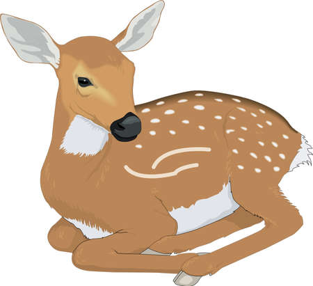 Deer Fawn Illustration