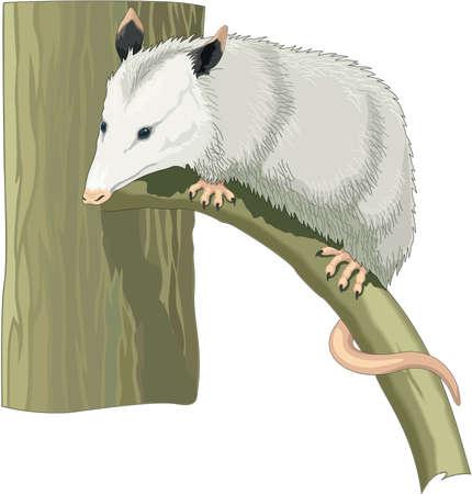 opossum: Opossum Illustration Illustration