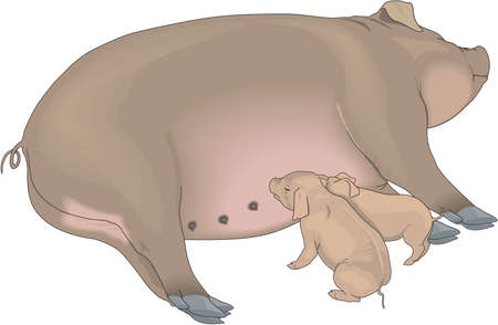 Sow and Piglets Illustration Illustration