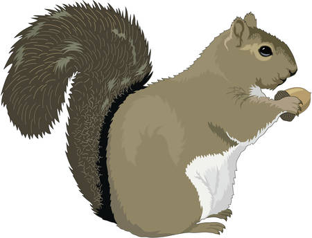 Grey Squirrel Illustration on white background